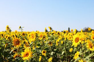 sunflower fields somerset
