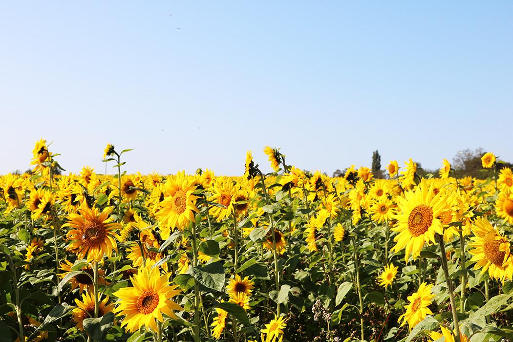 sunflower fields somerset